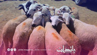 صورة ثمن مناسب للاضحية في سوق الماشية خميس انجرة 1000 درهم فقط