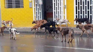 صورة الحسيمة تحت رحمة قطعان الكلاب الضالة